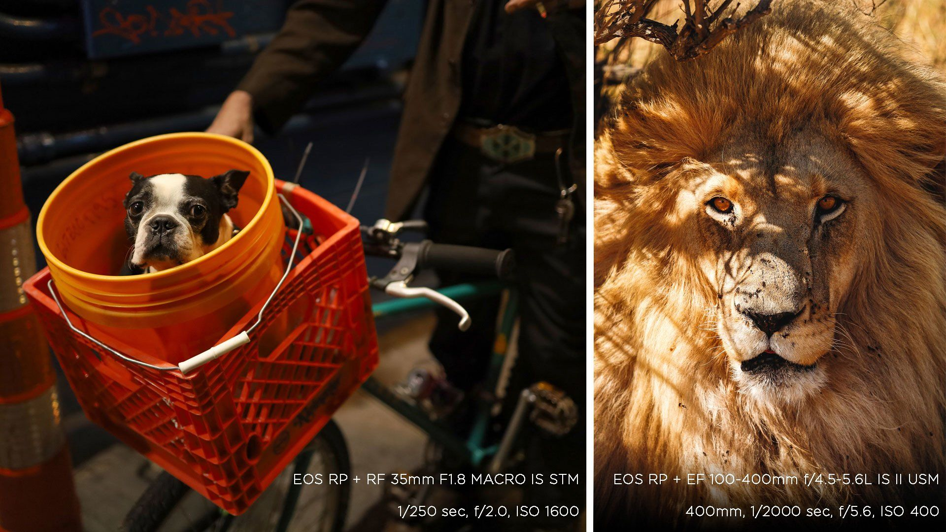 A composite picture: a black-and-white pug looks out from a plastic bucket on a bicycle's handlebars in one; and a face-on photo of a male lion in the other. Photos taken on a Canon EOS RP.